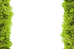 Crest mangrove isolated border for background, Green plant. Crest mangrove isolated border for background Stock Images