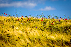 The crest of summer. A small hill crest with barley nearly ready for harvest with scattered and decorative red poppies and small blue flowers - windy weather Stock Images