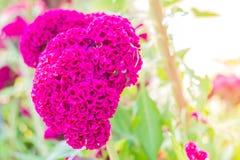 Cresta de gallo, flor rosada grande Imagen de archivo libre de regalías