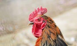 Cresta di gallo fotografie stock libere da diritti