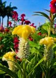 Cresta di gallo o fiore cinese della lana Immagini Stock
