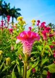 Cresta di gallo o fiore cinese della lana Fotografia Stock
