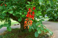Cresta-galli de Erythrina, conocida a menudo como el árbol coralino del espolón de gallo imágenes de archivo libres de regalías