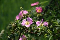 Cresta rosa romantica del campo fotografia stock