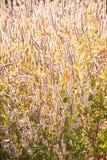 Crestas de gallo salvajes transparentes del arte en la luz de la ma?ana, fondo texturizado abstracto Las crestas de gallo salvaje imagen de archivo
