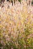 Crestas de gallo salvajes transparentes del arte en la luz de la ma?ana, fondo texturizado abstracto Las crestas de gallo salvaje imágenes de archivo libres de regalías