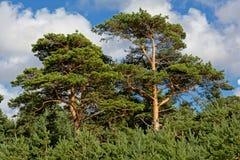 Crestas del árbol de pino imágenes de archivo libres de regalías