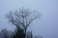 Crestas desnudas del árbol del invierno, cubiertas en parte con la hiedra en un cielo del gris brumoso fotografía de archivo libre de regalías