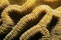 Creste dei natans di Colpophyllia del corallo di cervello del masso Fotografie Stock