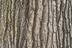 Creste del tronco di albero Fotografie Stock