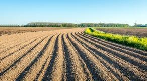 Creste serpeggianti della patata di argilla e del seme di ravizzone sbocciante giallo Fotografie Stock