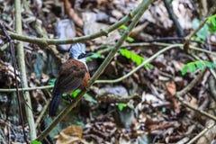 crested белизна laughingthrush Стоковые Изображения
