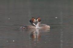 crested большие grebes Стоковое Фото
