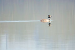crested большой grebe Стоковое Изображение