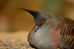 crested вихрун Стоковая Фотография RF