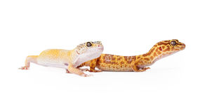 2 crested гекконового совместно Стоковые Фото