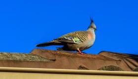 Crested голубь на крыше стоковое фото rf