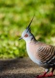 Crested голубь Стоковое фото RF