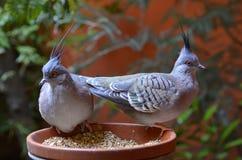Crested голубь Стоковая Фотография