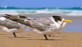 crested детеныши tern Стоковые Фотографии RF