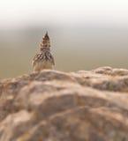 crested жаворонок предохранителя Стоковые Фотографии RF