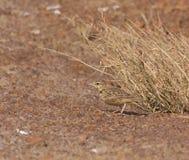 crested жаворонок Стоковое фото RF