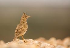 crested жаворонок Стоковые Фото