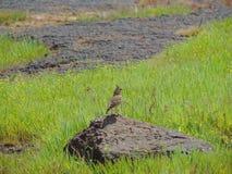 crested жаворонок malabar Стоковое Изображение