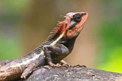 crested зеленая ящерица Стоковое Фото