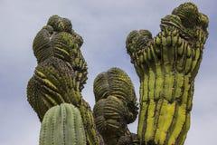 Crested кактус Cardon Стоковое Изображение