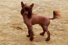 Crested китаец породы собаки Стоковая Фотография RF