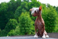 Crested китаец породы собаки Стоковое Изображение RF
