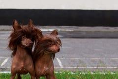 Crested китаец породы собаки Стоковое фото RF
