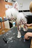 Crested китаец собаки породы холя Стоковая Фотография RF