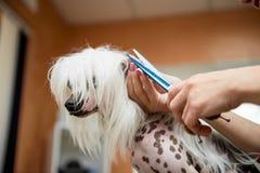 Crested китаец собаки породы холя Стоковое фото RF