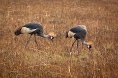 Crested краны в Замбии стоковые фото