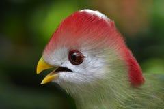 crested красный touraco Стоковые Фото