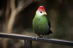 crested красный turaco Стоковые Изображения RF