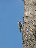 crested красный woodpecker Стоковое Изображение RF