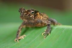 crested лодкамиамфибией жаба джунглей тропическая Стоковое Фото