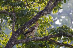 Crested орел хоука Стоковое Фото