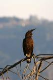 crested орел Стоковые Изображения RF