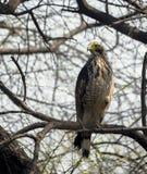 Crested орел змея (cheela Spilornis) Стоковые Фото