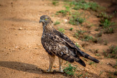 Crested орел хоука стоковая фотография rf