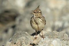 crested петь жаворонка Стоковые Фотографии RF