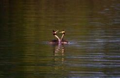 Crested поганковые, cristatus поганки, ducks ухаживание стоковое изображение rf