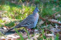 Crested птица голубя в одичалом Стоковые Изображения RF