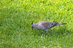 Crested птица голубя с черным шипом на головном ища wa еды Стоковое фото RF