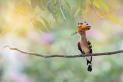 Crested птица садясь на насест самостоятельно Стоковое Изображение
