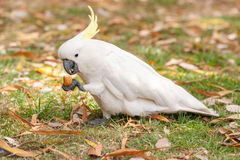 Crested серой попугай какаду в парке Сиднея ботанические сады королевские Держите и ешьте туристскую еду Стоковое Изображение